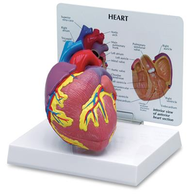 SIMULAIDS HEART MODEL (2 PIECE)